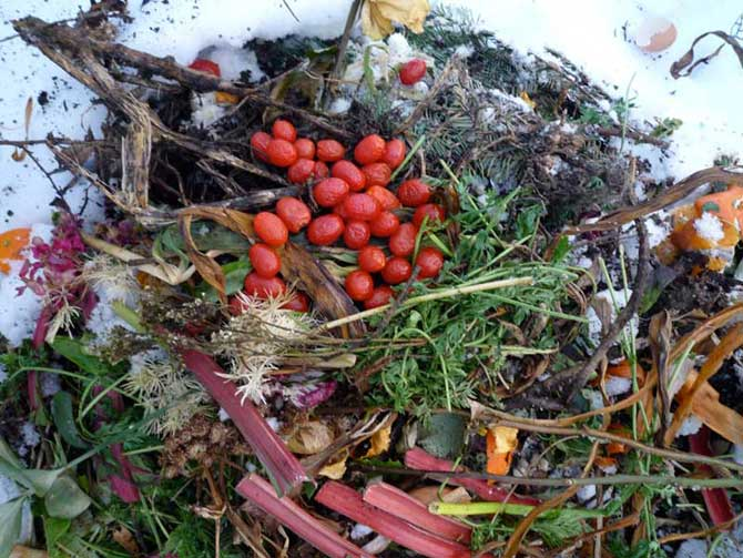 compost pile of tomatoes